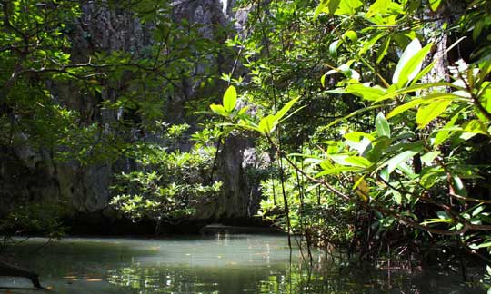 The mangroves of Phang Nga Bay