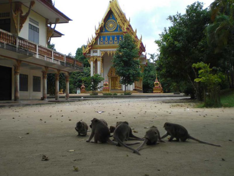 monkeys at the monkey temple