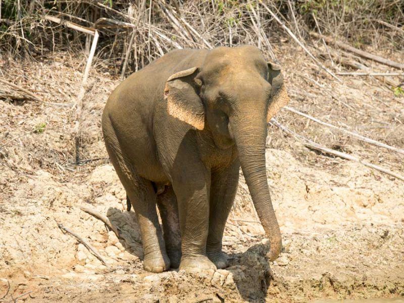 Wild Khaolak Asian Elephant