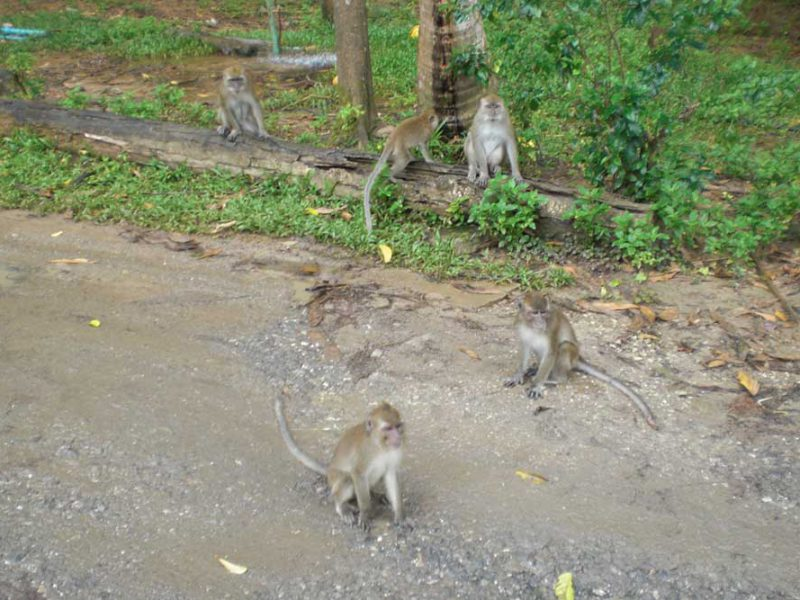 monkeys on the street Khaosok