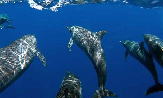 dolphins swimming near the surface