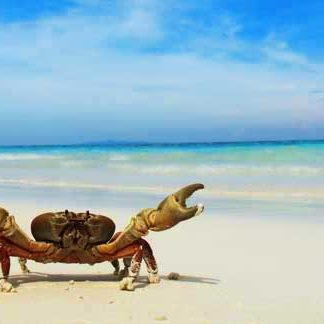 Chicken crab on the beach at Koh Tachai