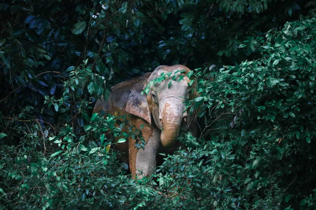 wild elephant in khao sok nationalpark